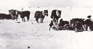 Siberian_ponies_-_Terra_Nova_Expedition
