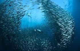 branco di sardine