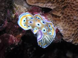 nudibranco