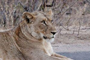 18 leonessa