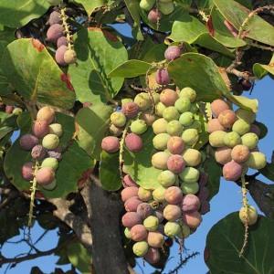 Coccoloba_uvifera_fruit