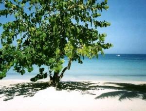 Sea Grapes In St Lucia