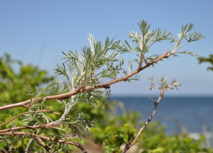 Artemisia campestris. Sfondo mare
