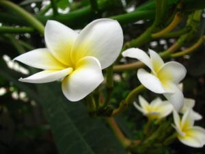 Plumeria alba. Part. Fiori