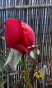 Rosa rossa di gennaio