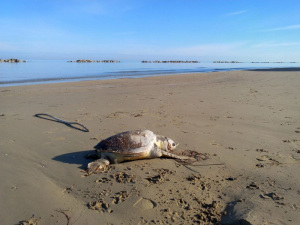 Tartaruga spiaggiata.2