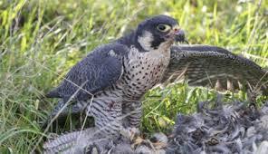 Zannone falco pellegrino