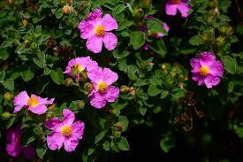 Zannone la flora
