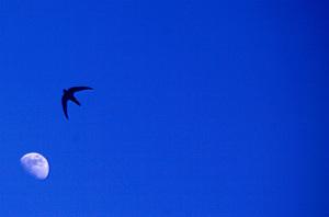 rondine vola nel blu