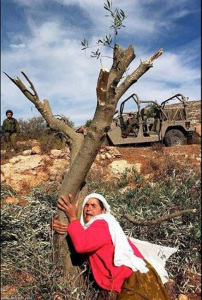 Gli olivi sradicati a Yirca