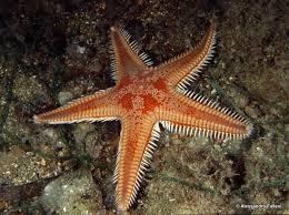 Stella marina Astropecten aranciacus