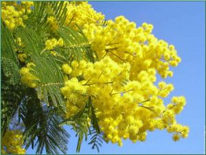 bedetti-mimosa