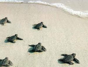 Piccole tartarughe mare