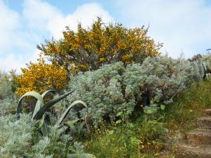 Calicothome spinosa. Arthemisia absinthum e agave