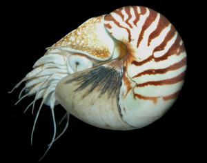 occhio-nautilus