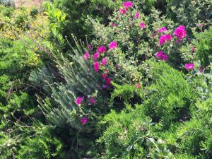 Cistus creticus e altre piante note
