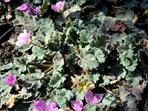Erodium_corsicum