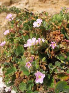 Erodium_corsicum. Becco di gru corso