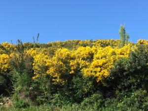 I gialli dell'entroterra. Calicothome spinosa