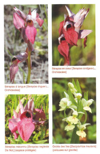 Orchis corse 3-6