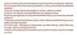 Orchis corse. Didascalia