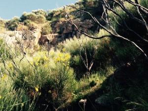 Vegetazione nei dintorni della cava Spartium junceum e Genista thyrrhena