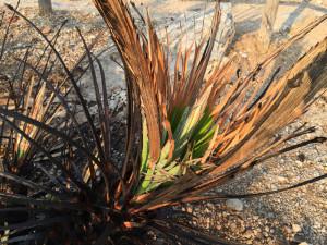 Palma nana in ripresa vegetativa dopo l'incendio