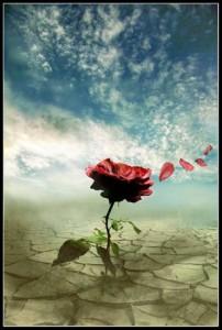 rosa-al-vento