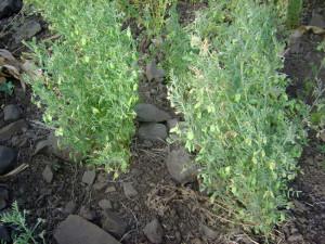 Coltivazione della lenticchia