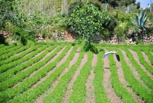 Coltivazione delle lenticchie a Ventotene. Airone sulle lenticchie