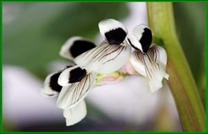 Il-fiore-della-fava