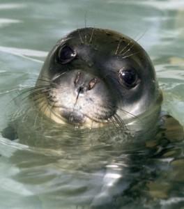 La foca monaca