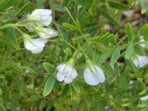 Lenticchia. Fiore
