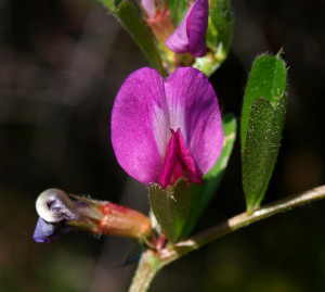 Vicia sativa. Var. macrocarpa. Fiore