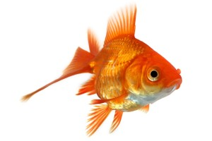 pesce stressato