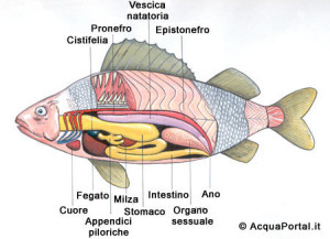 sistema endocrino dei pesci