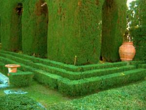 1. Buxus sempervirens. Villa Gamberaia. (1)