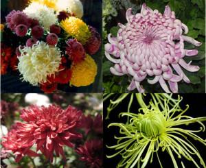 5. Crisantemi foto multipla