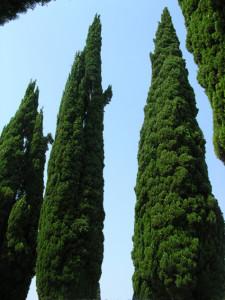 6. Cipressi