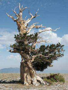 8. Bristlecone Pine