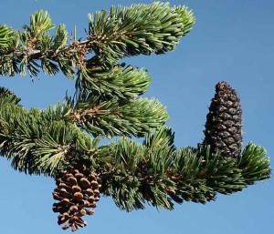 9. Bristlecone Pine. Cone