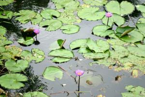 Fiore di loto. Campo medio