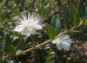 Fiori e foglie di mirto. Myrtus communis