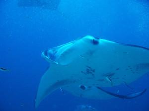 Immersione subcquea con manta. Maldive