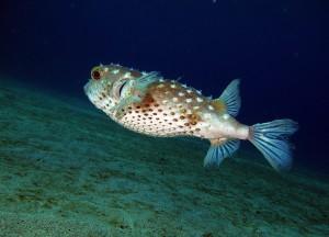 Pesce-palla-comune