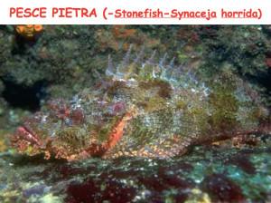 Pesce pietra.1