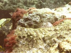 Pesce pietra.5