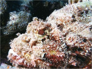 Pesce pietra.6