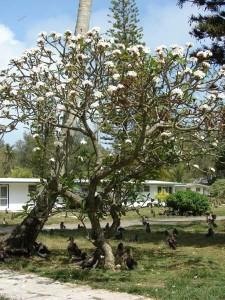 Plumeria alba tree