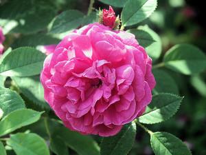 Rosa centifolia.1